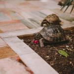 Tortoises in the courtyard