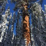 Viewing the giant sequoias clad in white snow...amazing
