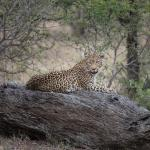 We saw a leopard on our first game drive!