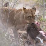 We even saw a lioness with her kill