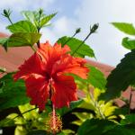Hibiscus blossoms surround garden and eating areas