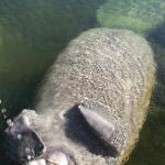 Beautiful and gentle manatee right at the dock