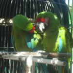 These parrots are in a open area where everyone can enjoy them.