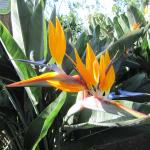 Birds of Paradise in the hotel garden
