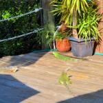 Iguanas sunning on the deck. We fed them lettuce to keep them coming back :-)