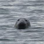 A seal hanging out in the water just off the little beach.