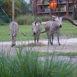Zebras from the window as we ate.