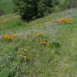 Hillside at Sibley with spring California Poppies