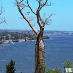Boab Tree with view of the Swan river.