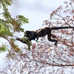 Howler monkey seen while zip lining