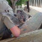 Baby Koala! They can only be held for a certain amount of minutes per week!