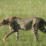 Cheetah in Naboisho