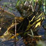 At least one beutiful turtle... In former years we´ve seen many of them.