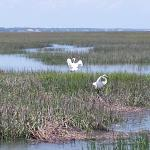 Egrets landing in the marsh to play.