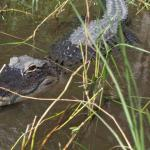 it is really exciting to see crocodiles living in the wild.