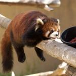 A Day at the Zoon – Adorable Red Panda