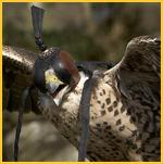 Falconry Ireland
