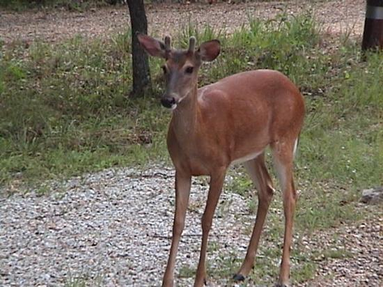 Gaines Landing Bed and Breakfast: Deer on the property