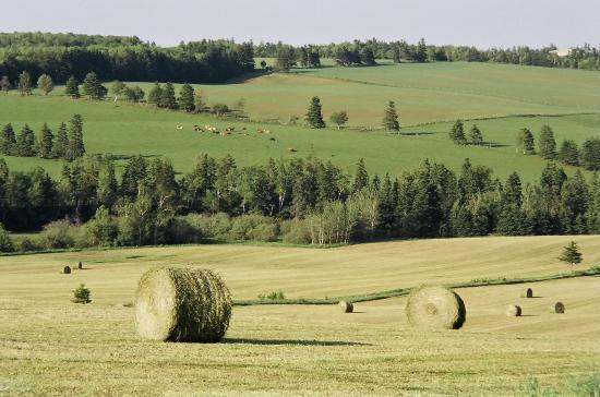 Cavendish, Canada: Cows on the hill