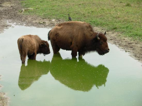 Clewiston, FL: Buffalo on the Swamp Buggy Tour