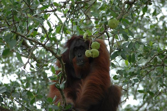 Sukau Rainforest Lodge: wild male orang-utan 2