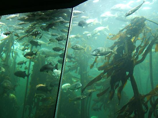 Two Oceans Aquarium Photo: Kelp forest fish