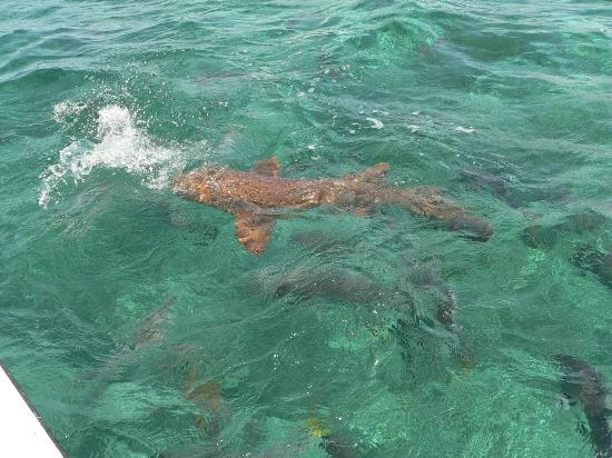 Xanadu Island Resort Belize: Hol Chan Nurse Shark