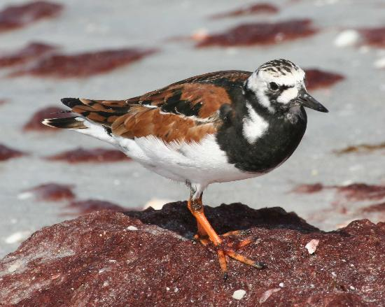 West-End Paradise: Ruddy Turnstone!