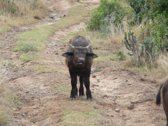 Kwandwe Private Game Reserve, Sr-Afrika: A young cape buffalo