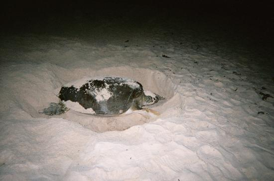 Sea Turtle Laying Eggs Pictures Sea Turtle Beached to Lay