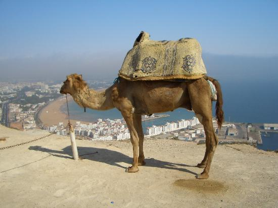 Maroc : Camel on the Kasbar
