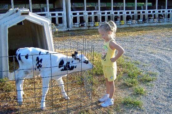 checking-out-a-baby-cow.jpg