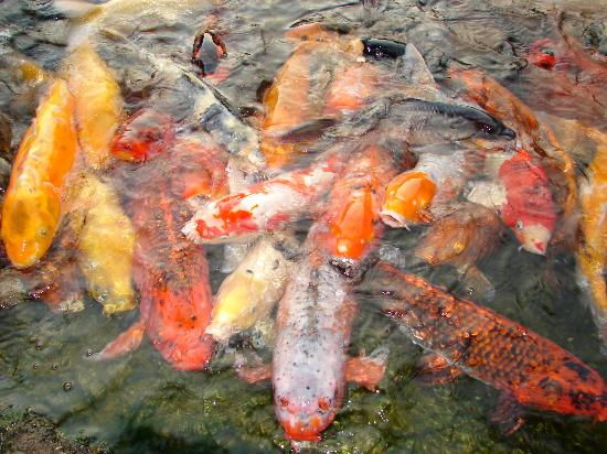 Koi Fish During Feeding Picture Of Earl Burns Miller