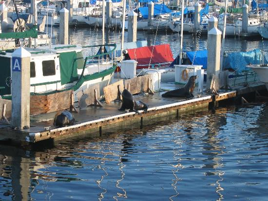 Del Monte Pines: seals in the harbour
