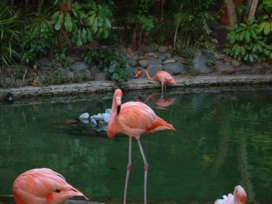 Punta Cana, Dominican Republic: flamingos