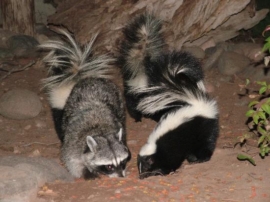 Raccoon Dog Pet Usa