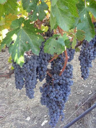 Paso Robles, Kalifornien: Grapes on the Vine at Opolo Vineyards