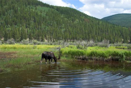 Rocky Mountain National Park, CO: Yes, you'll see moose but don't get to close (or your wife will chew you out :( )