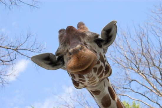 Glen Rose, TX: Yes, giraffes can smile