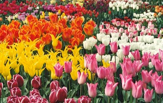 Tulips+in+holland