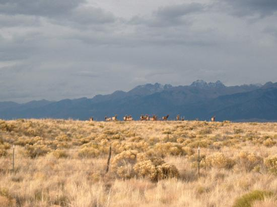 Taos, Nouveau-Mexique : Elk Herd 