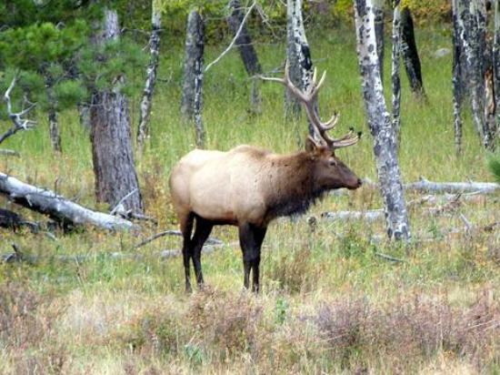 Colorado: elk
