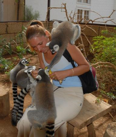 Some hungry lemurs that love bananas - Picture of Monkey Park, Los Cristianos...