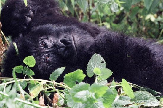 Ruanda: gorilla