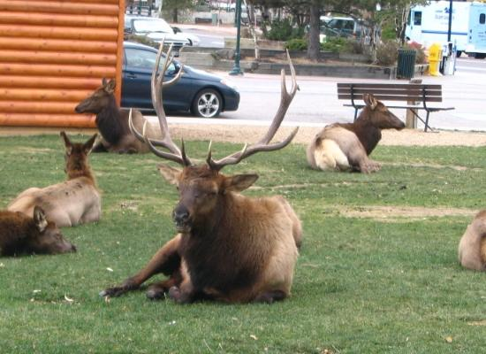 Silver Moon Inn: Leader of the pack (or herd) @ Estes Park