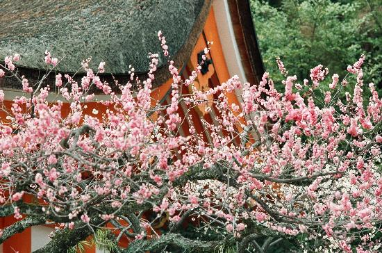 Kyoto, Jepang: Ume (plum) flowers at Kitano Jingu Shrine