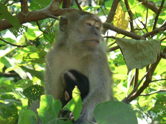 Sabah, Malaysia: Monkey and baby in Bako National Park, Sarawak