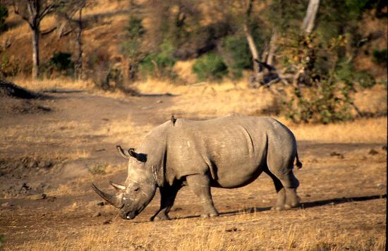 Kruger National Park, South Africa: White Rhino