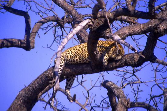 Parc national Kruger, Afrique du Sud : Leopard sleeps while keeping his lunch safe 