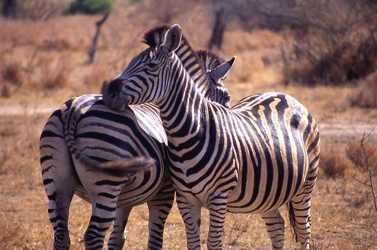 Kruger National Park, South Africa: Zabra watch out for eachother